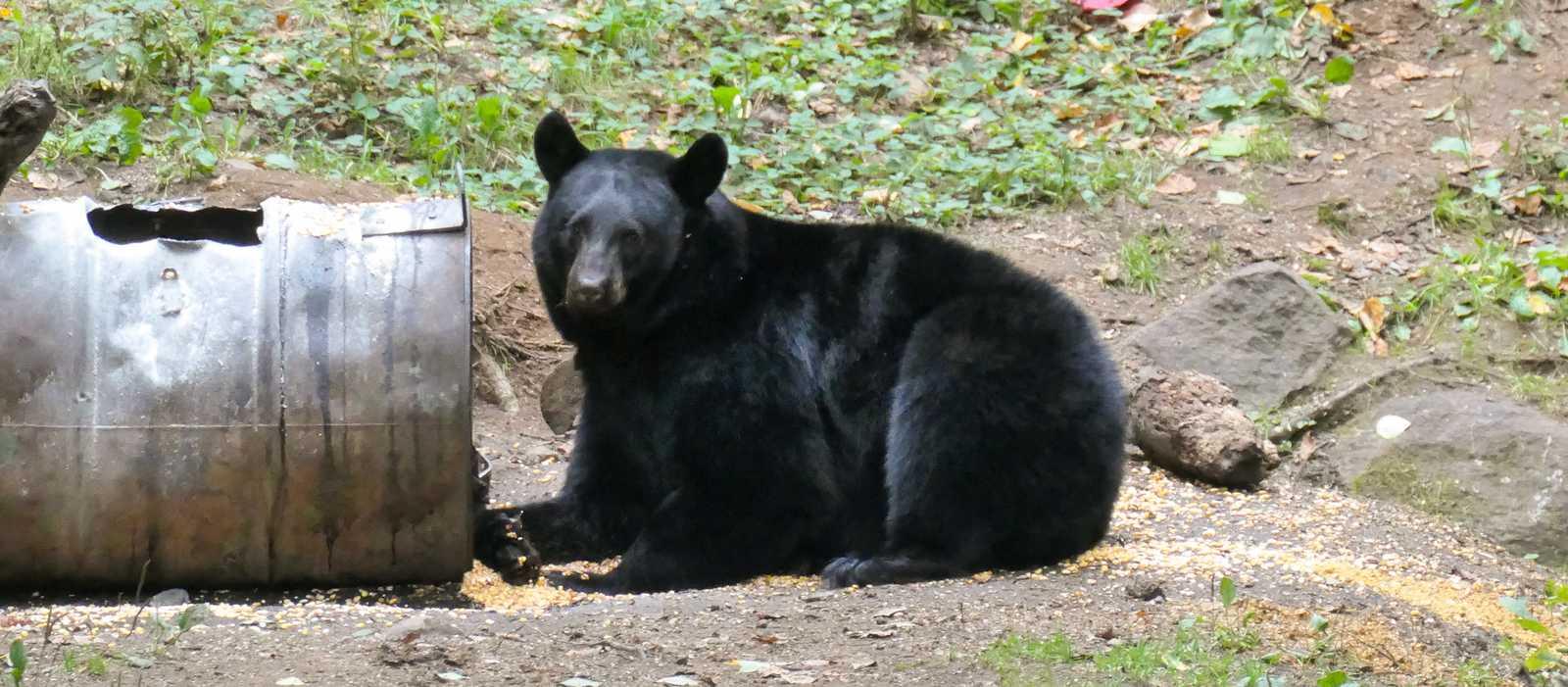 Bei einer Wanderung in Québec Schwarzbären entdecken
