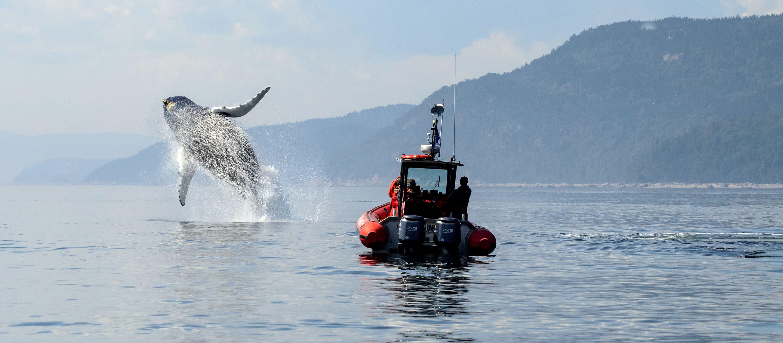 Wal im Sankt-Lorenz-Strom