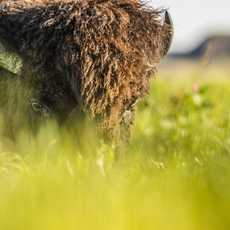 Ein Bison im Grasslands-Nationalpark in Saskatchewan