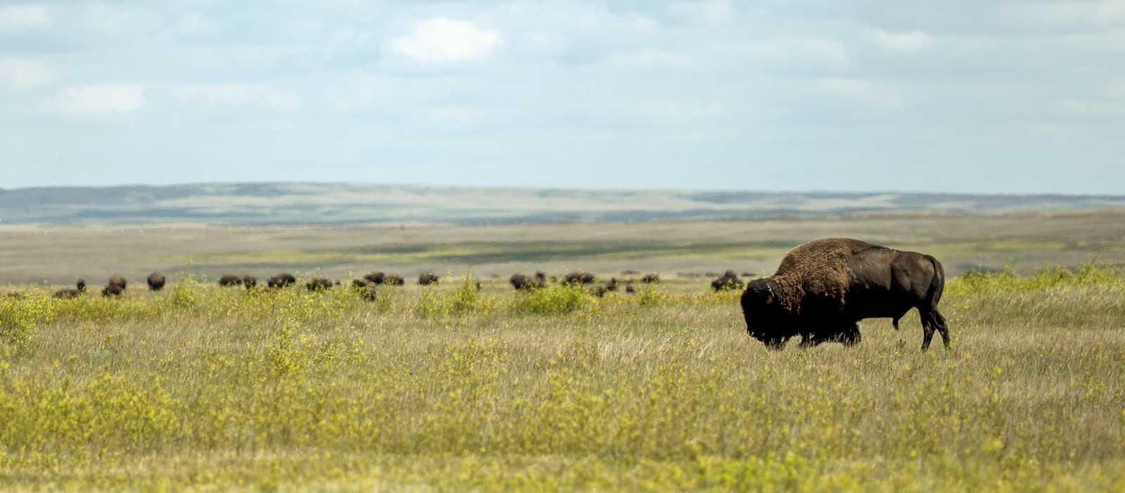 Eine Bison-Herde im Grasslands-Nationalpark in Saskatchewan