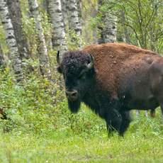 Amerikanischer Bison im Prince Albert Nationalpark, Saskatchewan