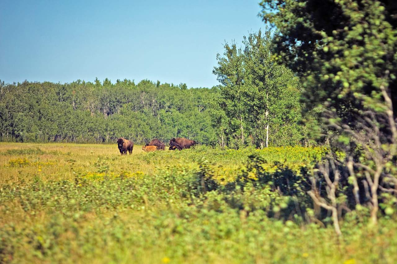 Bisons im Prince Albert National Park