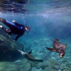 Schnorcheln mit Seelöwen auf einer Keuzfahrt mit Un-Cruise Adventures in Mexico
