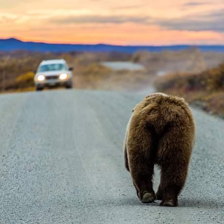 Ein Grizzlybär läuft auf einer Straße einem Auto entgegen