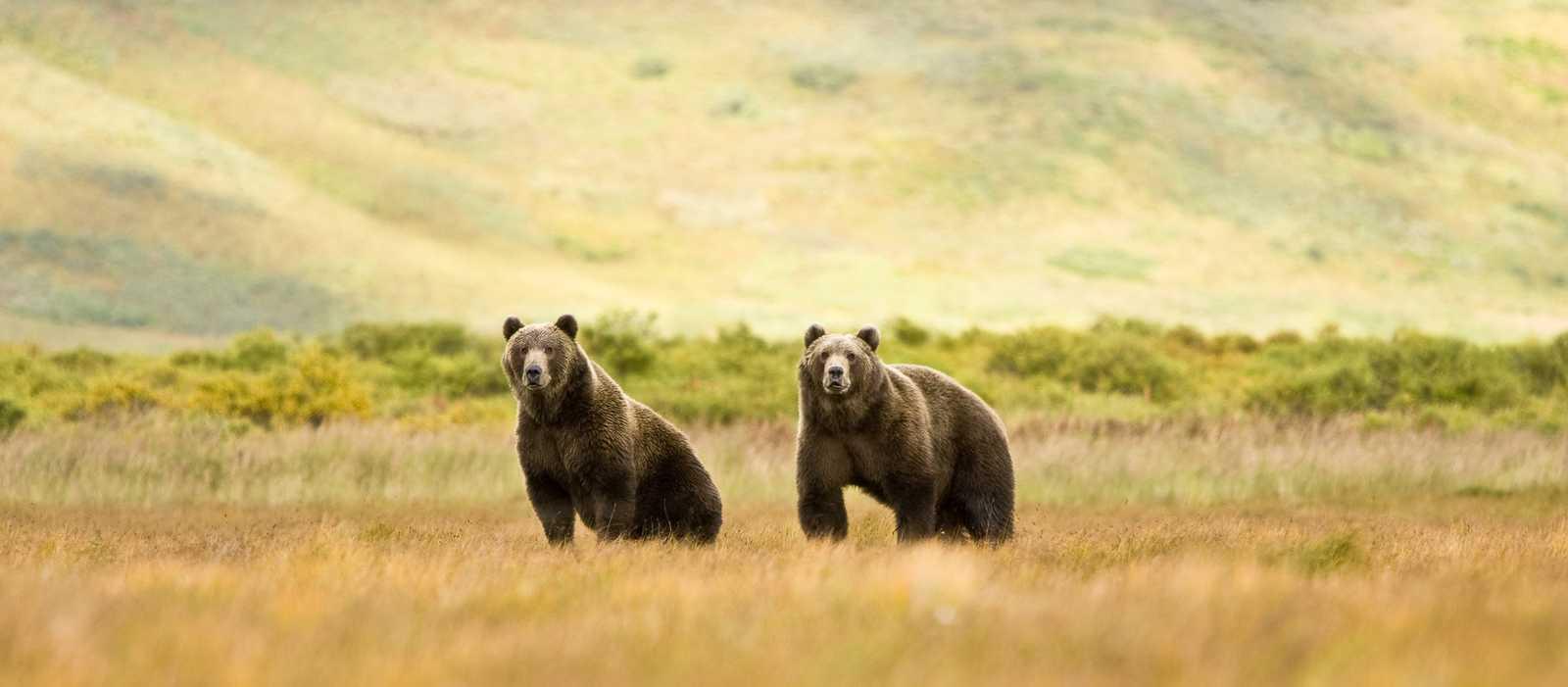 Zwei Grizzlybären in der Wildnis