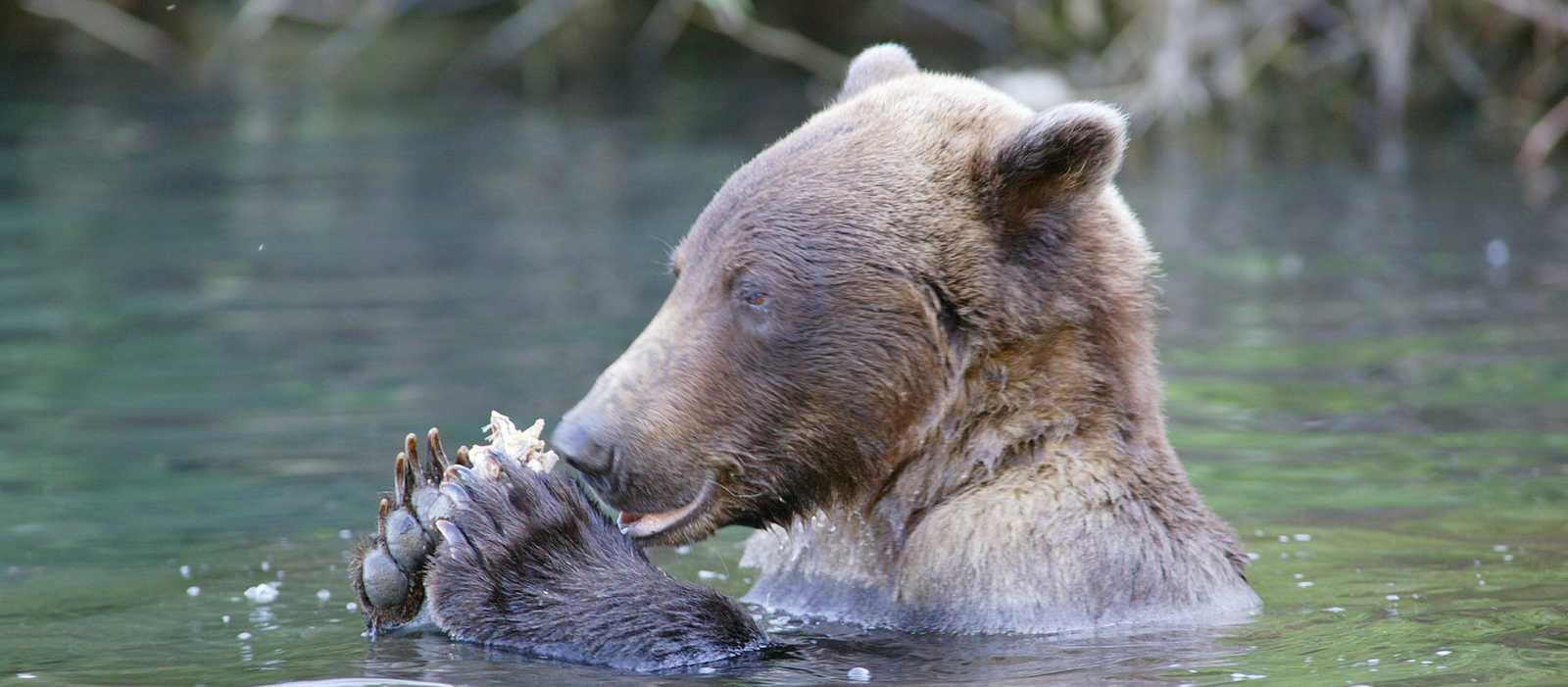 Braunbär schwimmt in den Gewässern Alaskas