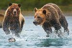 Braunbären fangen einen Lachs in Alaska
