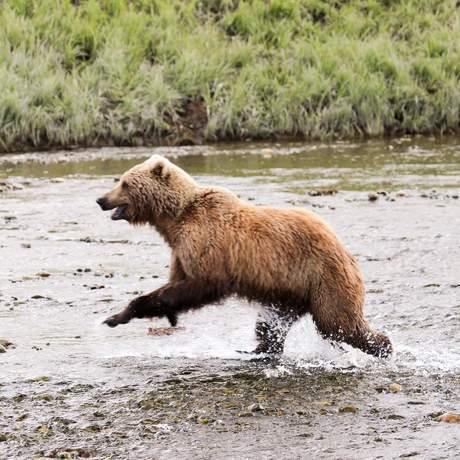 Grizzlybär durchquert ein Flussbett in Alaska