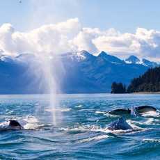 Buckelwale spielen im Wasser, Alaska