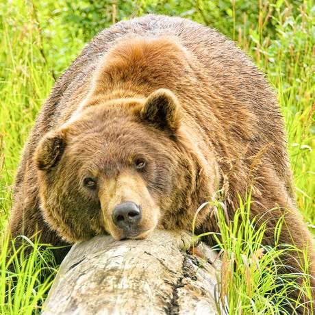 Grizzlybär ruht auf Baumstamm in Alaska