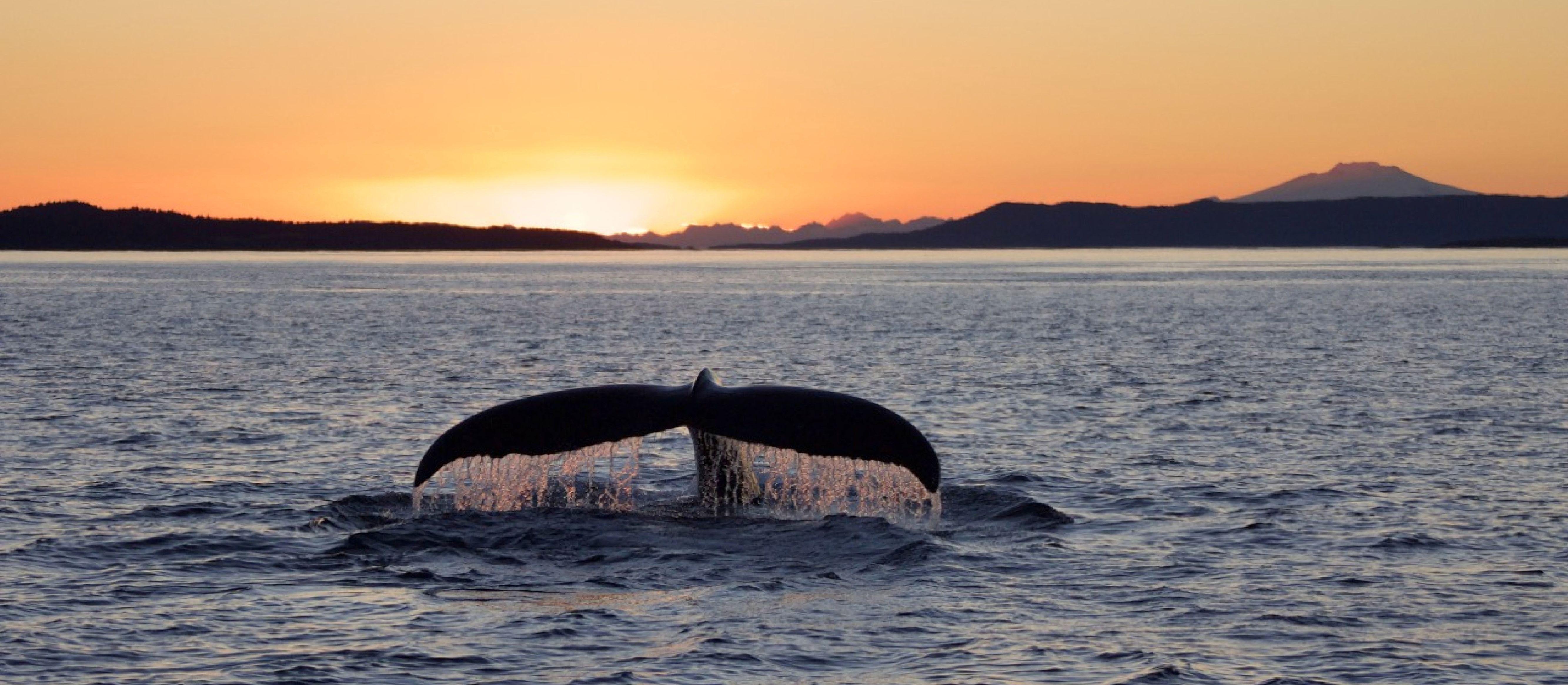 Eine Walflosse im Sonnenuntergang
