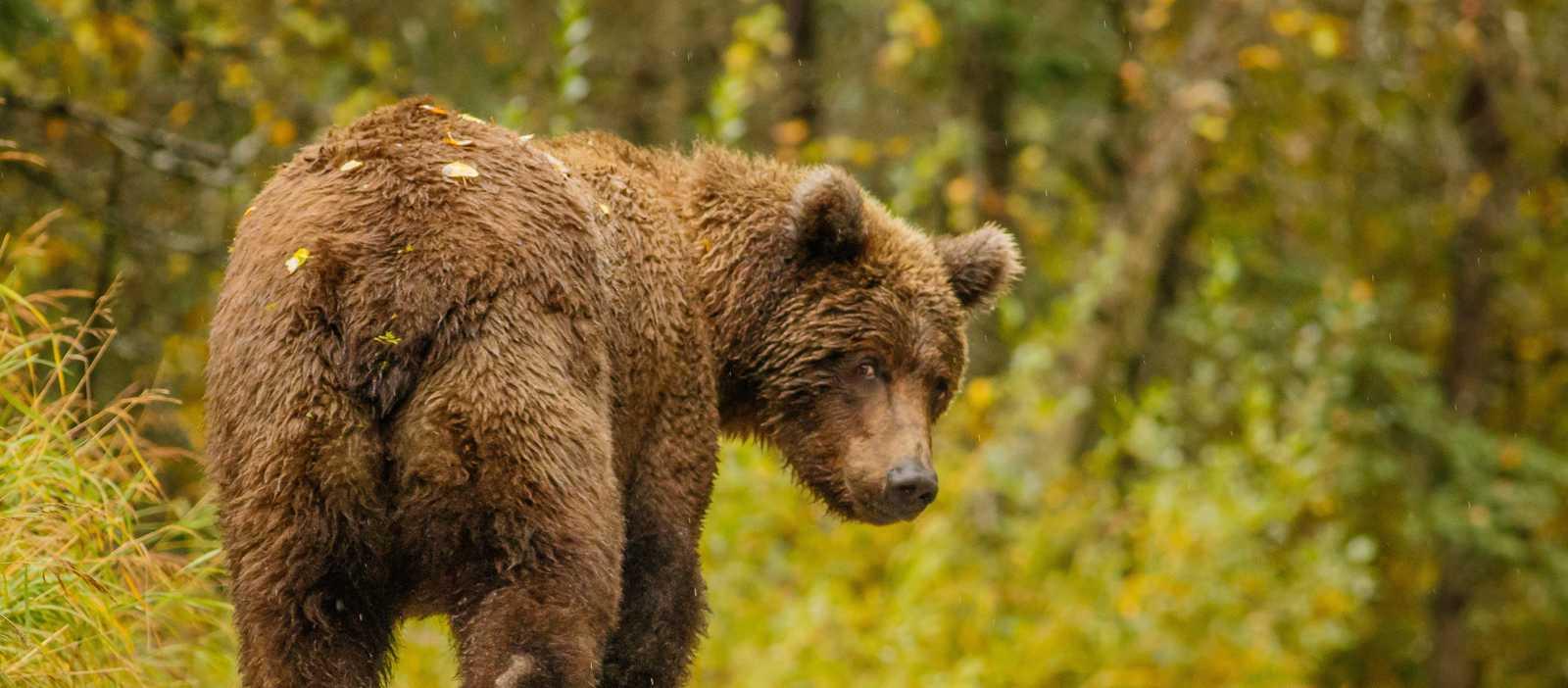 Ein großer Grizzlybär läuft eine Straße in Alaska entlang
