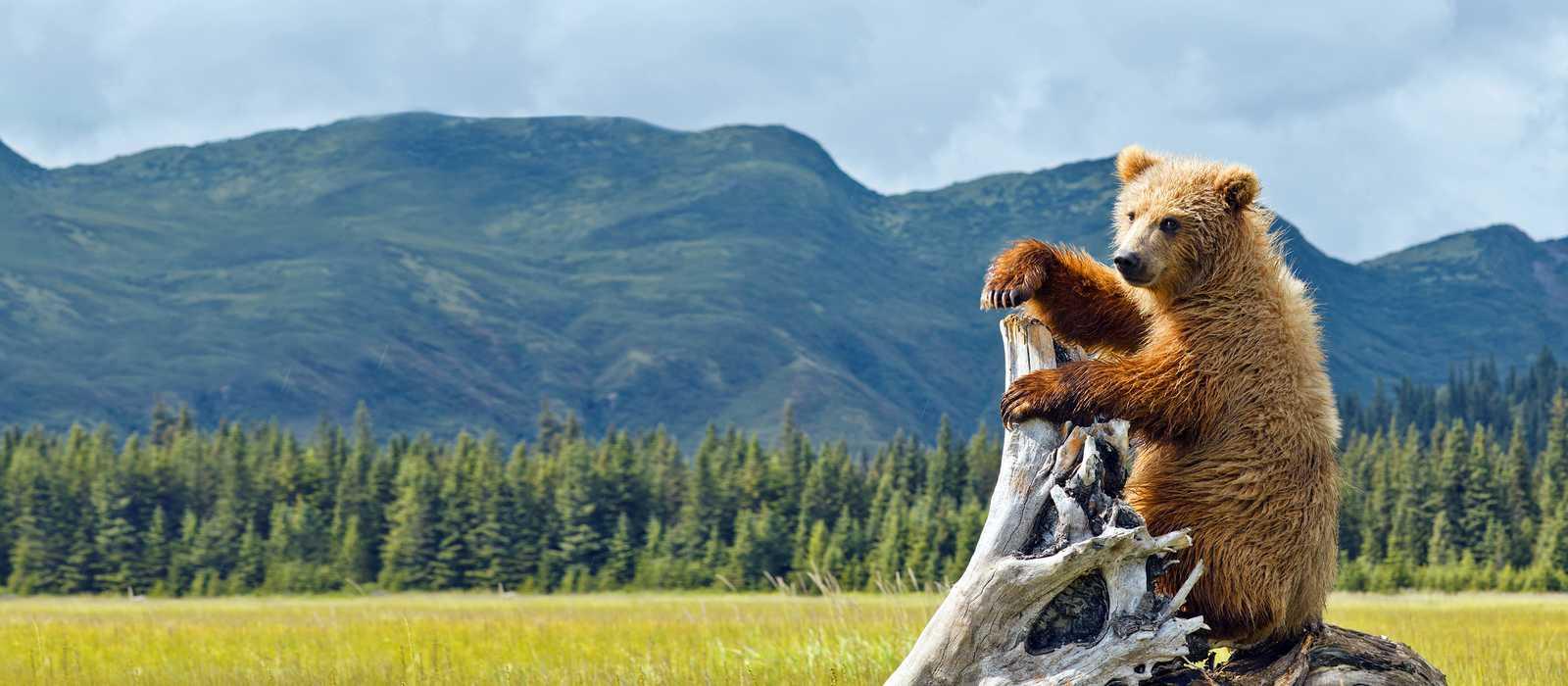 Bär im Denali Nationalpark and Preserve