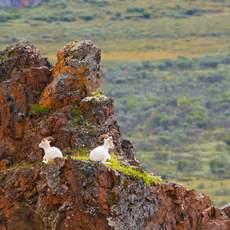Denali National Park: Dallschaf