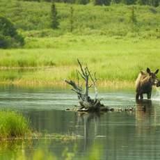 Elch im See bei Meile 124 des Denali Highway, Alaska