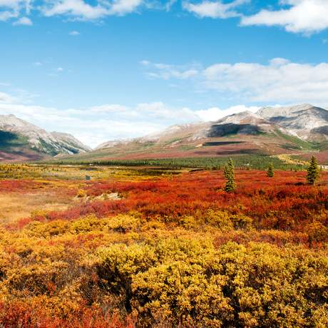 Herbstlandschaft im Denali National Park