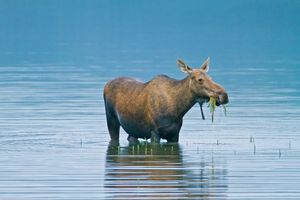 Elchkuh im Denali Nationalpark