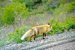 Fuchs unterwegs