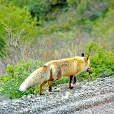 Fuchs im Denali National Park