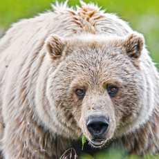 Grizzly im Denali National Park