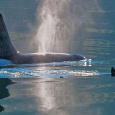 Orcas in der Icy Strait in Port Frederick