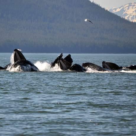 Eine Buckelwal Herde an einer Küste Alaskas