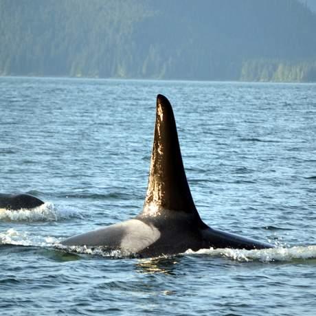 Juneau, Orca