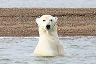 Eisbären-Erlebnis in Alaska