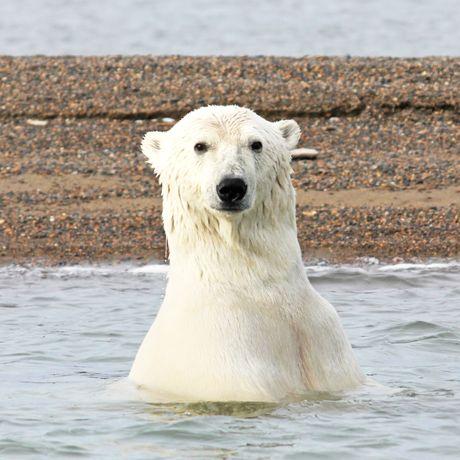 Eisbaer guckt aus dem Wasser