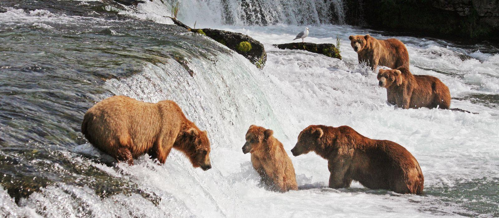 Baerenbeobachtung im Katmai National Park