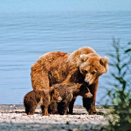 Baerenfamilie im Katmai Nationalpark