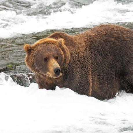 Braunbaer im Katmai-National-Park Alaska