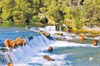 Bären fischen in den Brooks Falls