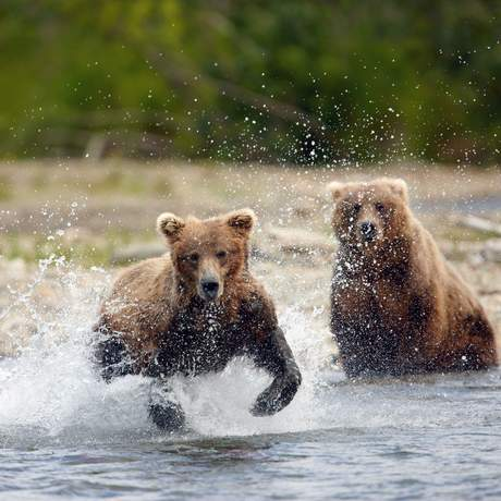 Katmai National Park, jumping Grizzlies