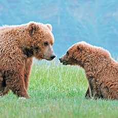 Grizzly - Mutter und Kind