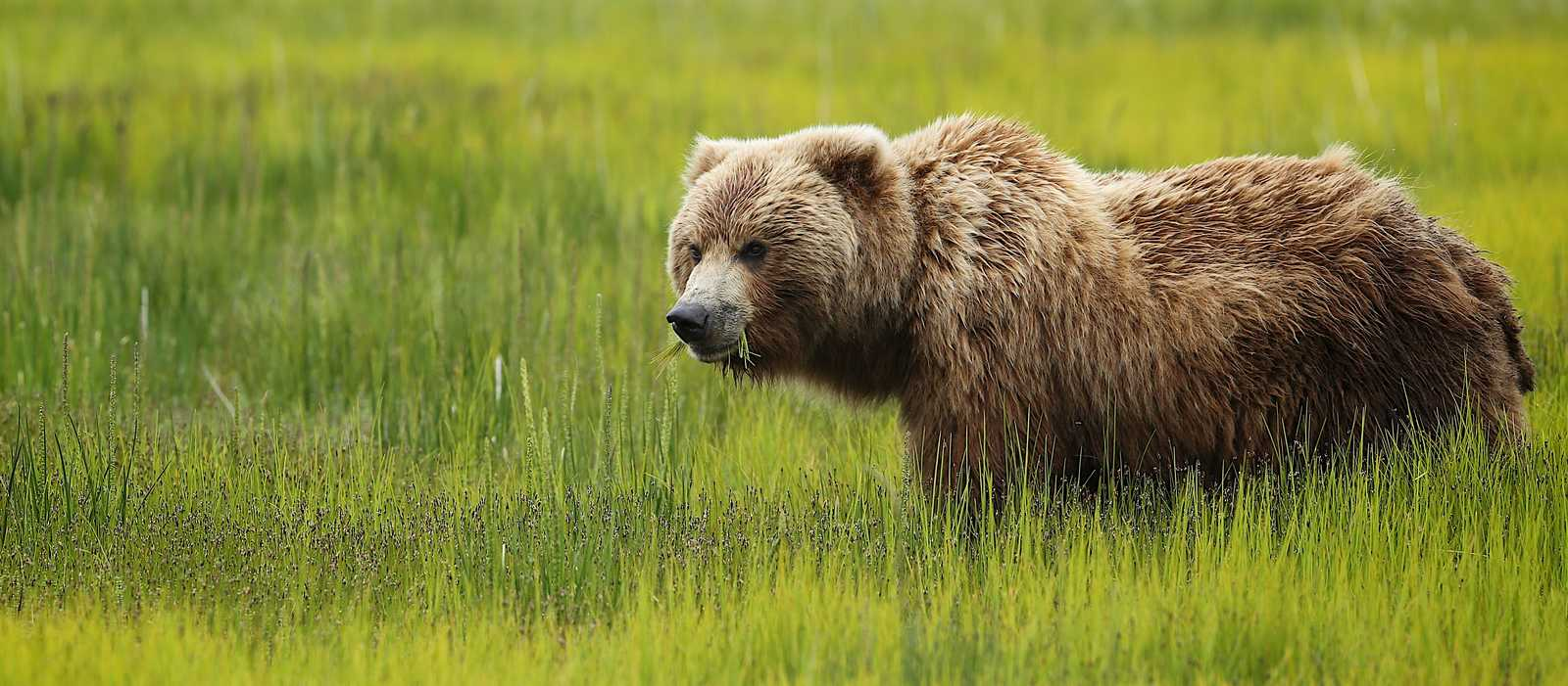 Bärenbeobachtung im Kenai Fjords National Park