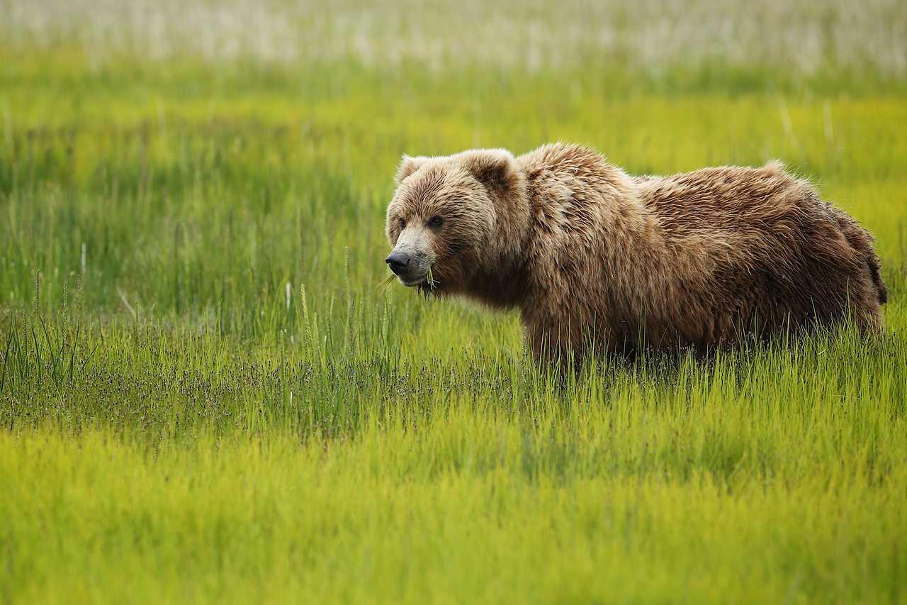 Braunbär in Alaska