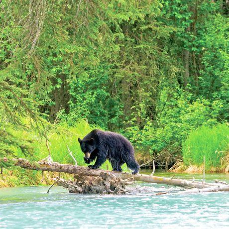 Alaska, Black Bears, bear on log, Upper Kenai River, Kenai Peninsula