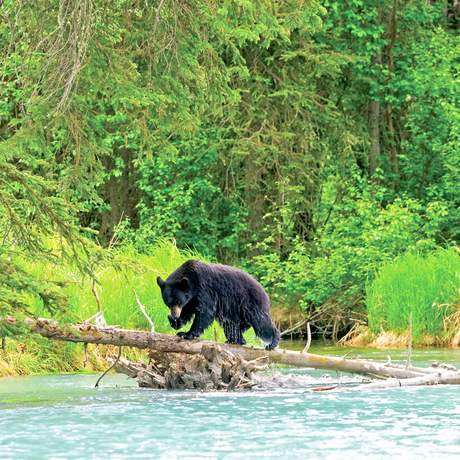 Alaska, Black Bears, bear on log, Upper Kenai River, Kenai Peninsula