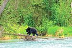Bärenbeobachtung in Tofino und Ucluelet