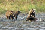 Bärenbeobachtung Kodiak Brown Bear Center