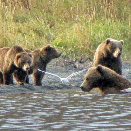 Baerenbeobachtung am Kodiak Brown Bear Center