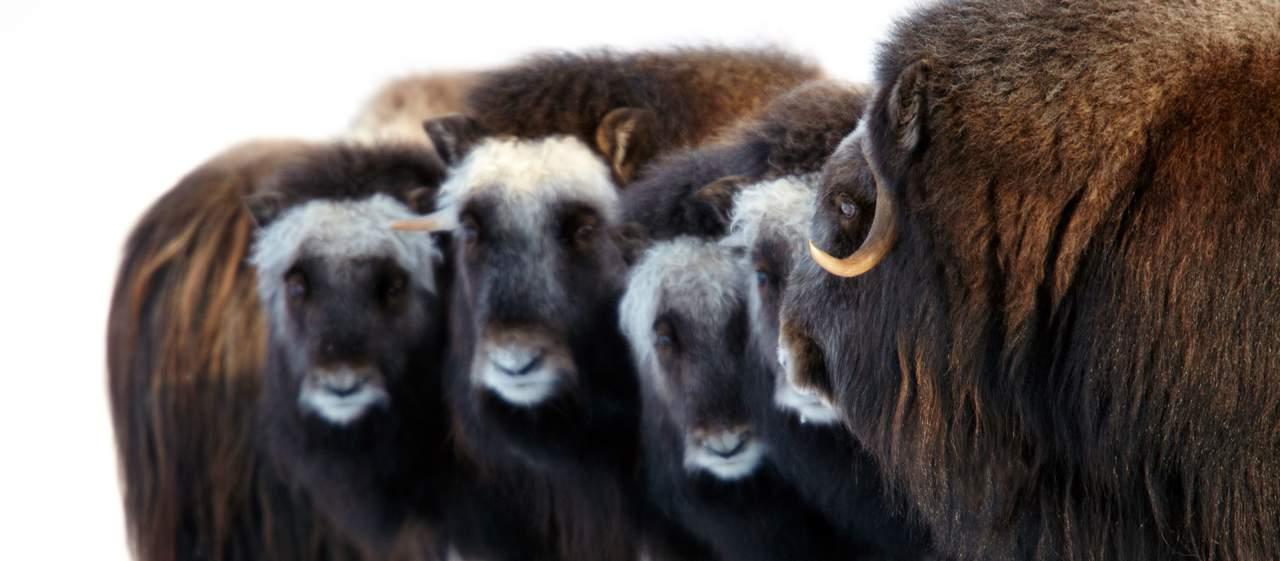 Herde wilder Moschusochsen bein Nome, Alaska