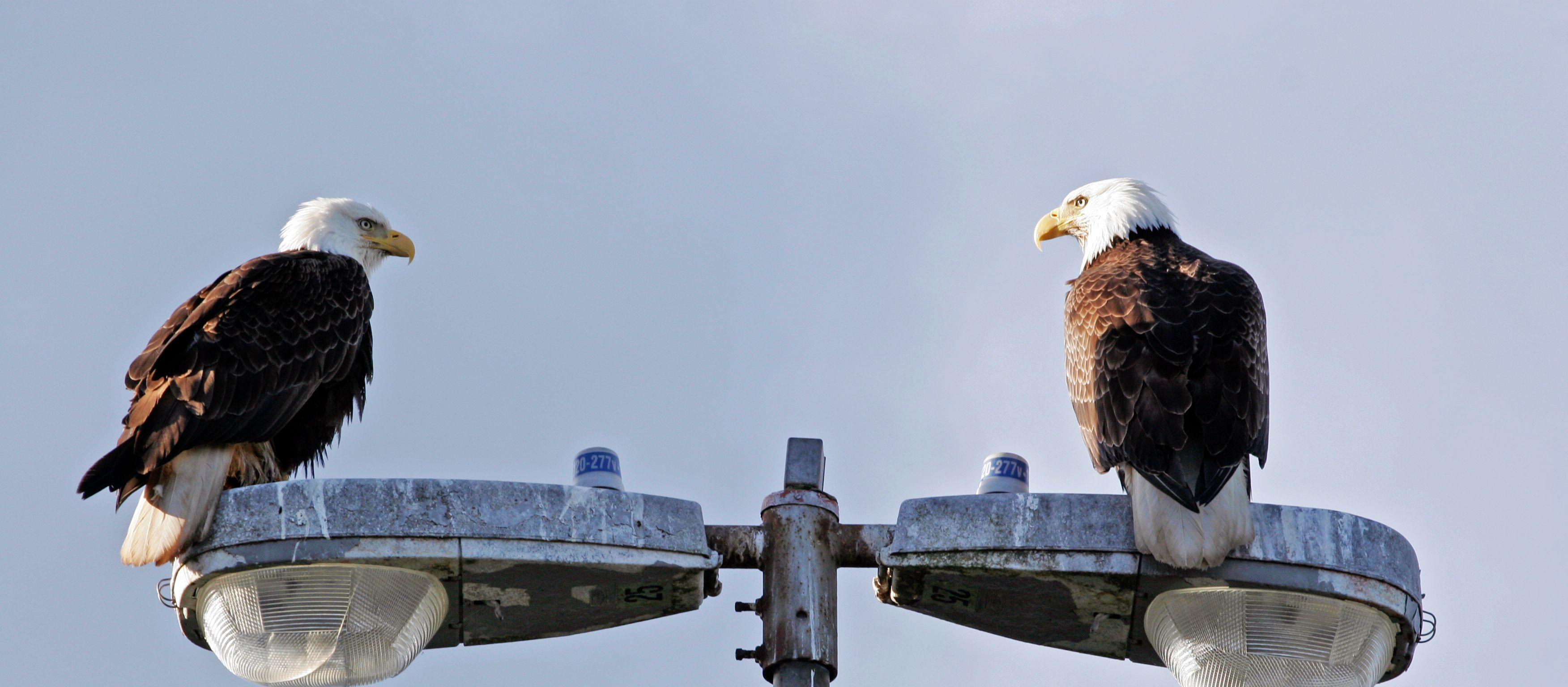 Weisskopfseeadler in Sitka