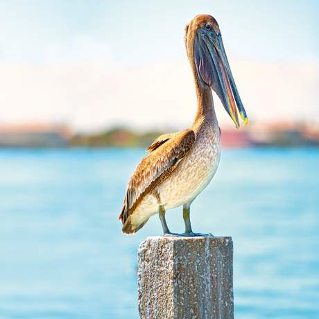 Ein brauner Pelikan sitzt am Wasser
