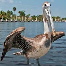 Pelikan im Hafen von Everglades City