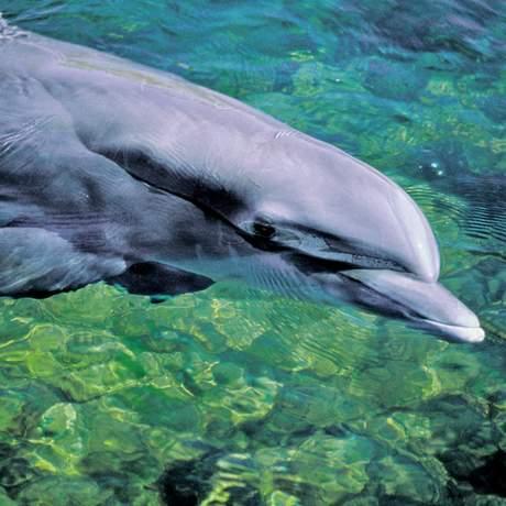 Ein Delphin im Wasser, Fort Myers, Sanibel