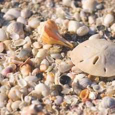 Nahaufnahme von verschiedenen Muscheln am Strand von Fort Myers und Sanibel