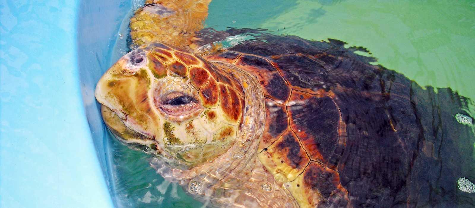 Loggerhead Turtle (Karettschildkröte)