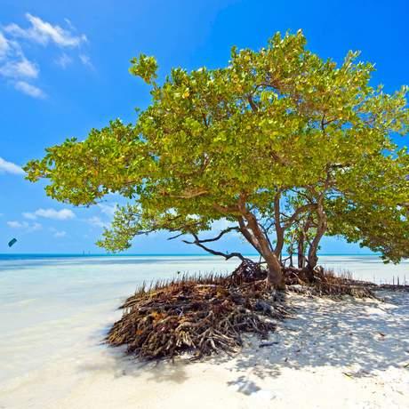 Baum in den Mangroven von Anne's Beach